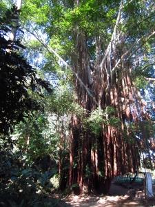 A giant shaggy tree